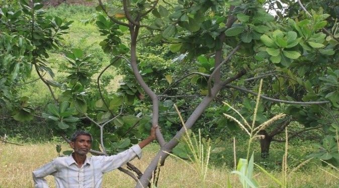 Shankar in front of one of his cashew trees